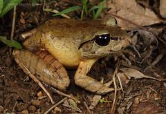 Southern Barred Frog (Mixophyes balbus) (Jordan Mulder) Tags: southern barred frog wildlife amphibian rainforest mixophyes balbus