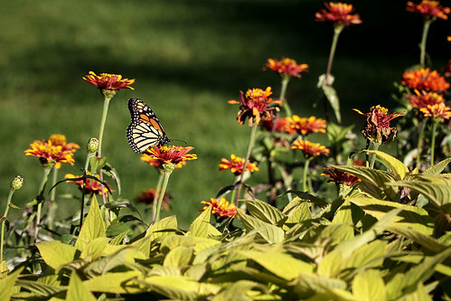 Monarch Butterfly at the Lincoln Park Conservatory