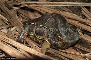 40819 Spiny Turtle (Heosemys spinosa) in coastal hill rainforest, Perak, Malaysia. IUCN=Endangered.