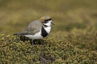 Knee deep in diddle-dee-Two-banded Plover