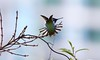 The Tail of Anna's Hummingbird (praja38) Tags: annashummingbird caps cap capricorn humour life wild wildlife animal tail feathers feather wings wing beak tree male hummingbird