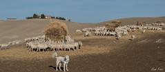troupeau (Rémi Pozzi) Tags: toscane italie pienza paysage troupeau agriculture moutons ovins
