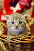 20171203_0424c (Fantasyfan.) Tags: yule christmas kitten fantasyfanin