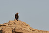 DSC_0107 (Kjell Arild Dokka) Tags: rovfugler keiserørn aquila heliaca iran bandarabbas genu