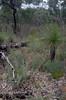 Grevillea wilsonii and Xanthorrhoea preissii, Avon Valley National Park, near Toodyay, WA, 18/10/17 (Russell Cumming) Tags: plant grevillea grevilleawilsonii proteaceae xanthorrhoea xanthorrhoeapreissii xanthorrhoeaceae avonvalleynationalpark toodyay northam westernaustralia
