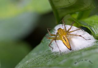 Burmese Lynx Spider Oxyopes birmanicus