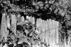Nature always won (•Nicolas•) Tags: m4p fomapan 100iso film analog ilfosol nb bw contrast nicolasthomas friday fence barrière ivy lierre nature wood bois