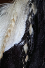 Domino's Braid (meniscuslens) Tags: domino pony skewbald braid black white fur mane rescue horse trust charity buckinghamshire
