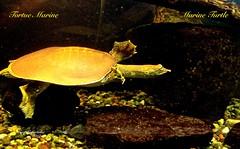 MARINE TURTLE (guylafortune) Tags: rock stone pierres eau mer océan ocean sea water closeup macro automne autumn marine turtle tortue nageur swimmer swim nage