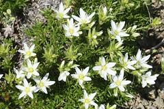 Plants_OB_152 (NRCS Montana) Tags: arenaria hookeri hookers sandwort plants