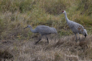Sandhill Cranes, juvenile and parent