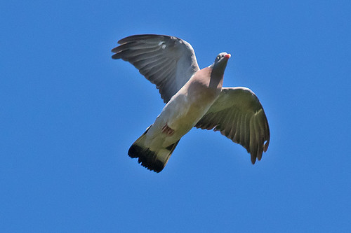 _W4A9733 Common Wood Pigeon (Columba palumbus)