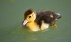 Baby duck  DSC_0234 (richardsscenery) Tags: duck babyduck yellowduck bird waterlife newborn newlife water cuteducks nikon nikkor nikonlens