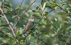 Quiet Empids (Bonnie Ott) Tags: empidinax flycatcher empidinaxflycatcher willowflycatcher explore explored