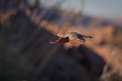 Flyby (gseloff) Tags: redshaftednorthernflicker bird flight bif woodpecker nature wildlife arroyo losojitos bigbendranchstatepark bbrsp chihuahuandesert presidiocounty texas gseloff