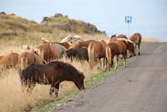 IMG_0234 Vatnsnes, Iceland (Fernando Sa Rapita) Tags: iceland hunafloi bay hvammstangi islandia horses caballos animals road carretera hunafloibay canon eos6d vatnsness canoneos