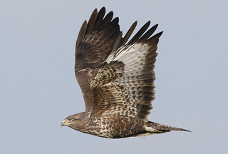 BUZZARD....Powys....I think I am back on track with Flickr !