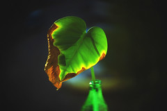 Still young at heart (petrapetruta) Tags: leaf green light gogreen flickrfriday thirsty
