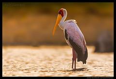 Beauty of The Nature (asifsherazi) Tags: yellowbilledstork lakebaringo suisafarilodge asifsherazi nikonsafari kenya birdsofkenya
