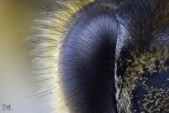 Eye Bee (christian_kollinger) Tags: macro extremo ojo eye abeja bee logo nuevo colorfull awesome master nikon carl zeis macrodreams