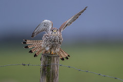 R17_8683 (ronald groenendijk) Tags: cronaldgroenendijk 2017 falcotinnunculus rgflickrrg animal bird birds birdsofprey groenendijk holland kestrel nature natuur natuurfotografie netherlands outdoor ronaldgroenendijk roofvogels torenvalk vogel vogels wildlife