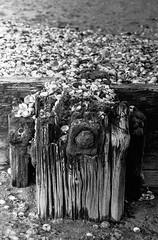 Drift Interrupted (Richie Rue) Tags: haiku poetry poem groyne wood iron shells drift scattered worn monochrome blackandwhite bw bnw film analogue analog 35mm coast shore sand beach nikon f801s foma fomapan400 rodinal seaside december england uk winter stroll strolling ramble outofseason landscape intimatelandscape