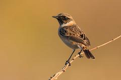 stonechat (leonardo manetti) Tags: nature wild wildlife uccello stonechat sunset field animal animals bird birds colors autumn