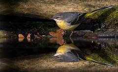 Grey Wagtail. (Jez Nunn) Tags: greywagtailbirdnaturewildlifenikond7200reflection