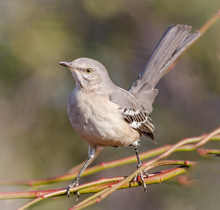Northern Mockingbird posing