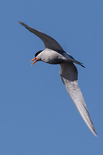 20171115_9742_7D2-400 Black-fronted Tern #1