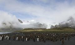 South Georgia (richard.mcmanus.) Tags: southgeorgia goldharbour kingpenguins penguins chicks landscape antarctica subantarcticisland mcmanus