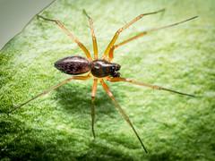 Tenuiphantes tenuis (m) (mickmassie) Tags: arachnida hounslowheath linyphiidae spider