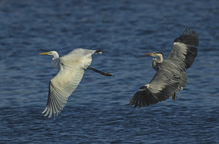 Great White Egret & Heron - Catch me if you can