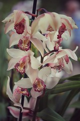 Ad Ambra (ashora_63) Tags: vintagefilter flora hybridflowers orchids tropicalflowers hybrids 7dwf cymbidium 100flowers2017 100flowers joyful tributepicture birth ambra awesomeblossoms