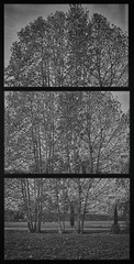 Sawing trees (Italian Film Photography) Tags: tree frames deconstructed film analogue pellicola belair x612 ilford delta400 monochrome blackandwhite