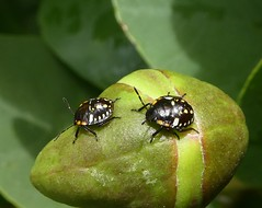 Two bugs out on a caper (glcoote) Tags: southaustralian sa southaustralia gregcoote caper bug insect adelaidebotanicgarden