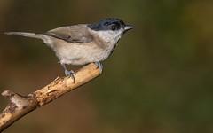 Marsh Tit. (Jez Nunn) Tags: marshtitbirdswildlifenature