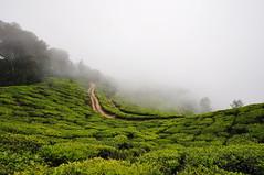 India - Kerala - Munnar - Tea Plantagen - 216 (asienman) Tags: india kerala munnar teaplantagen asienmanphotography