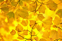....To hear never-heard sounds, (..) To be a tree and read the memory of the leaves... - by  Dejan Stojanovic (Eggii) Tags: yellow leaves october autumn fall project