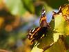 Jesień Herbst autumn Autunno Jesen (arjuna_zbycho) Tags: motyle schmetterlinge schmetterling motyl lepidoptera insekten insecta falter tagfalter edelfalter jesień herbst autumn autunno jesen