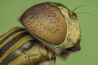 Hoverfly - Bee Mimic Fly