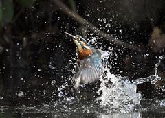 Bathing (ogawa san) Tags: kingfisher bird wildbird water pond splash autumn cold kanazawabunko yokohama kanagawa japan カワセミ 翡翠 日本 水浴び