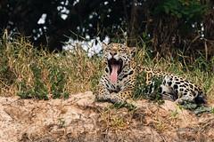 Jaguar (female) (Thelma Gatuzzo) Tags: ponca félido yaguar southamerica animal brasil wildlife 2017 carnivora predator panthera bigcat fauna matogrosso onça pantheraonca mamal animalia thelmagatuzzophotography cat jaguar thelmagatuzzo© mammalia americadosul portojofre felidae selvagem felino pantanal feline wild america naturephotography brazil predador