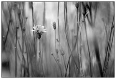 Of the garden (EddieAC) Tags: grass dandelion blackandwhite blur intentionalblur