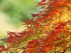 autumn breeze (dayonkaede) Tags: autumn leaf autumnleaves nature wind plant color olympus em1markii m300mm f40 mc14