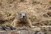 _MG_0400.jpg (Hans Van Loy) Tags: alpenmarmot dieren europa gewervelden kleinwalsertal knaagdieren landenenplaatsen oostenrijk zoogdieren