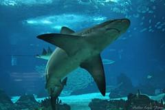 Shark (Helderlopesfotos) Tags: lisboa portugal shark tubarão oceanário oceanáriodelisboa blue light sea city nature natureza canon