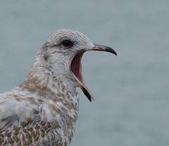 Larus_delawarensis_Riverside_20170928_A (marknenadov) Tags: gulls birds 300mm portraits expressive