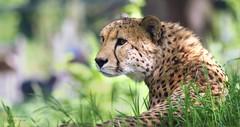 GEPARD/CHEETAH (babsbaron) Tags: nature tiere animals katze raubkatze cat bigcat gepard zoo köln cheetah grosskatze wildtier