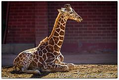 Reticulated giraffe (Giraffa camelopardalis reticulata) (ctofcsco) Tags: 14x 14xii 1250 1d 1dmark4 1dmarkiv 1div 280mm canon colorado didnotfire digital ef ef200mmf2lisusm14x eos eos1d eos1dmarkiv esplora 2017 animal bokeh denver denverzoo explore explored geo:lat=3975024770 geo:lon=10494968870 geotagged nature northamerica picture statecapitol vinestreethouses wildlife wwwdenverzooorg zoo extender f40 flashoff iso100 mark4 markiv partial photo pic pretty renown shutterspeedpriorityae supertelephoto teleconverter telephoto unitedstates usa
